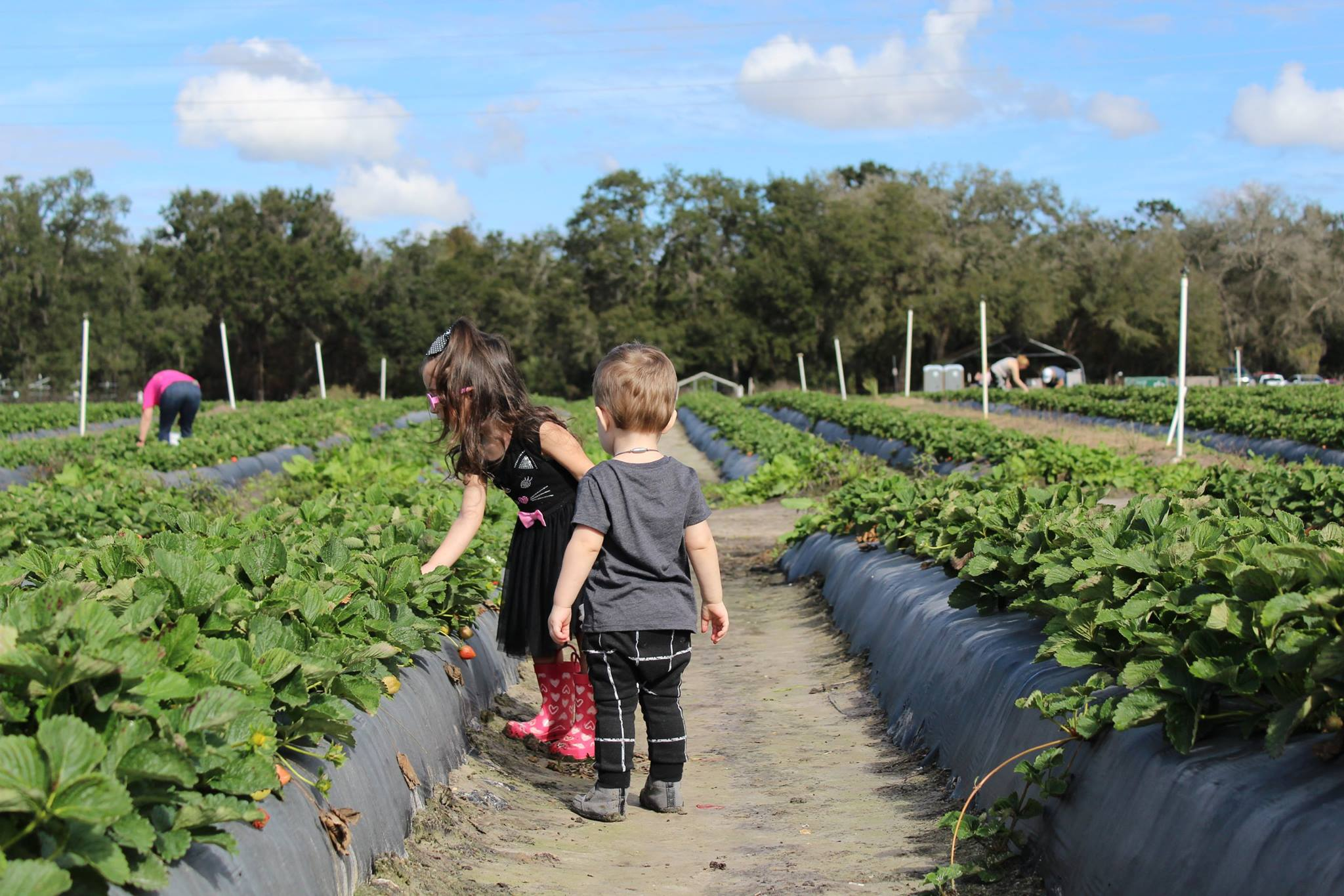 Strawberry Picking with Toddlers at a Local Farm